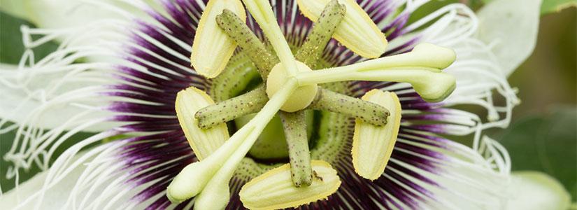 Las plantas medicinas de la Fitoterapia mitigan síntomas de estrés, favorecen la relajación, combaten el insomnio y dolencias de otra índole.